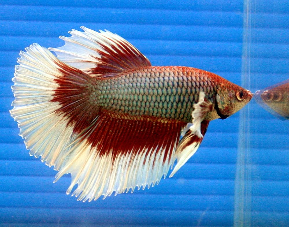 Red and white halfmoon male betta fish