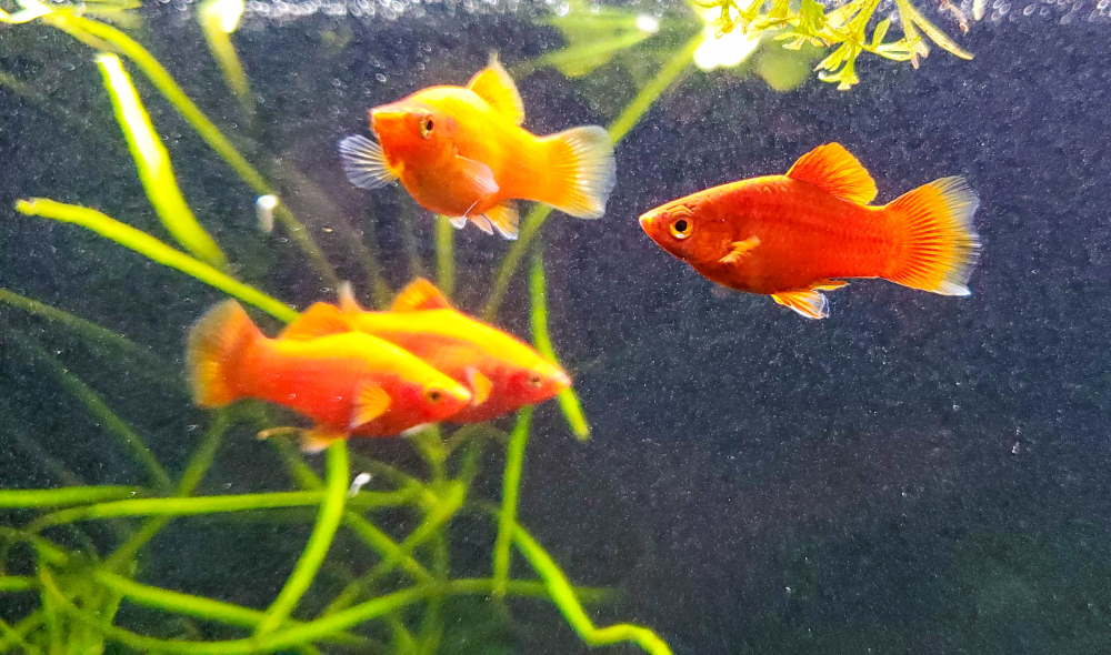 Poisson platy corail rouge nain
