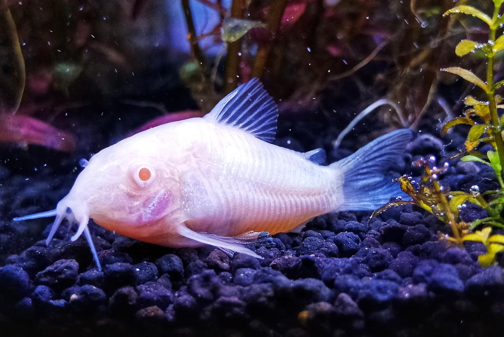 poisson-chat albinos cory