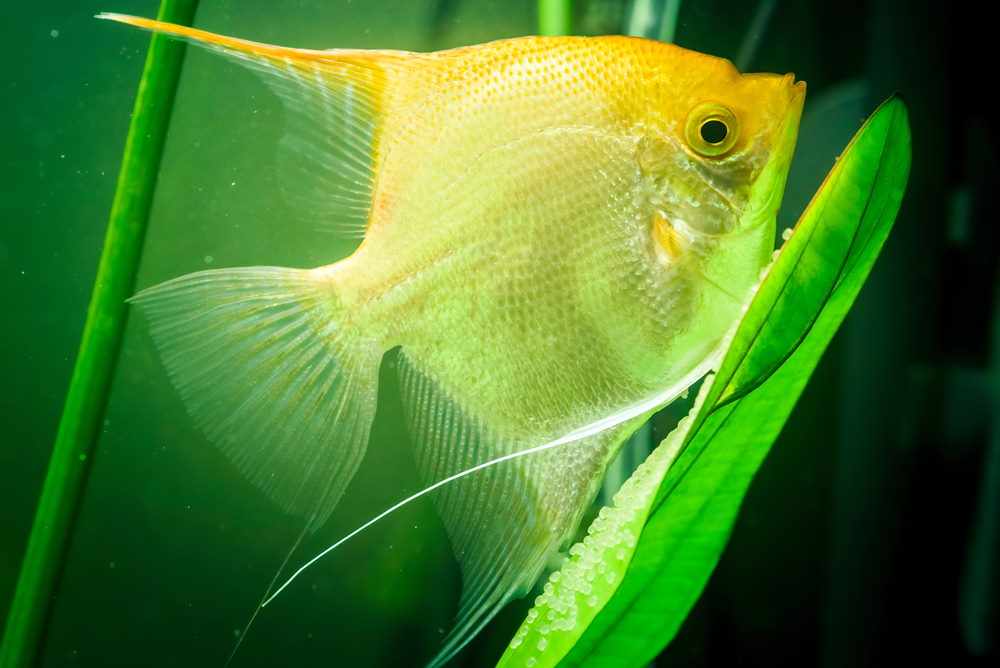 angelfish guarding or laying eggs