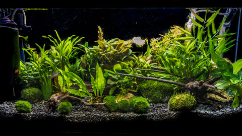 aquascape using marimo moss balls in the foreground