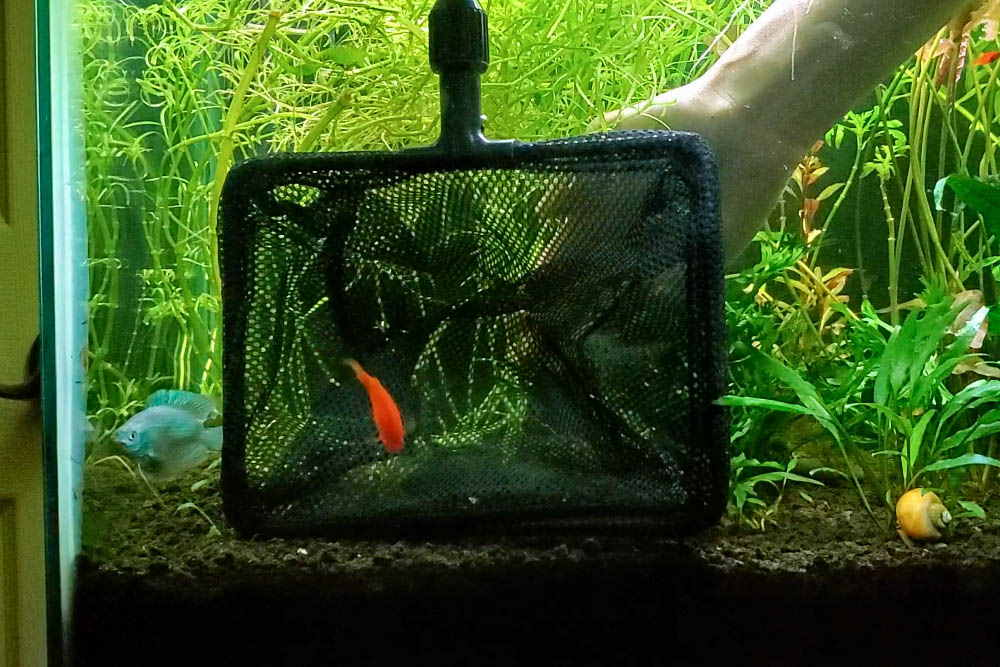 chase the fish into the aquarium net