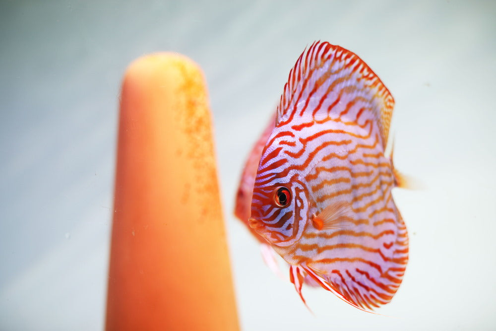 discus with spawning cone