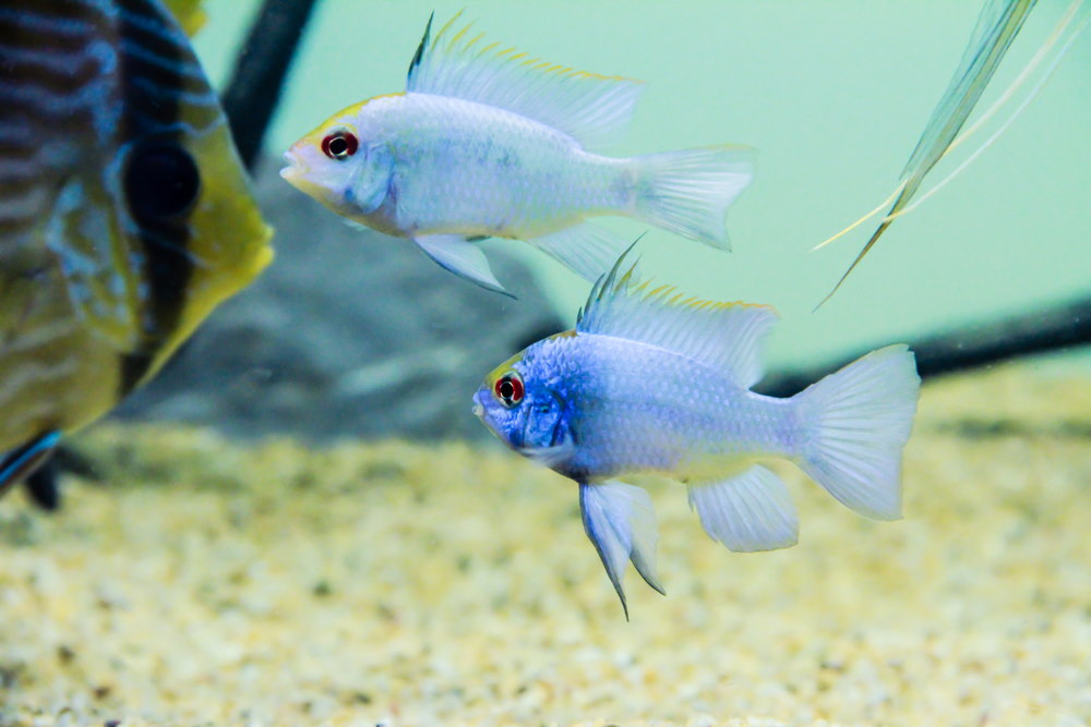 electric blue rams with discus