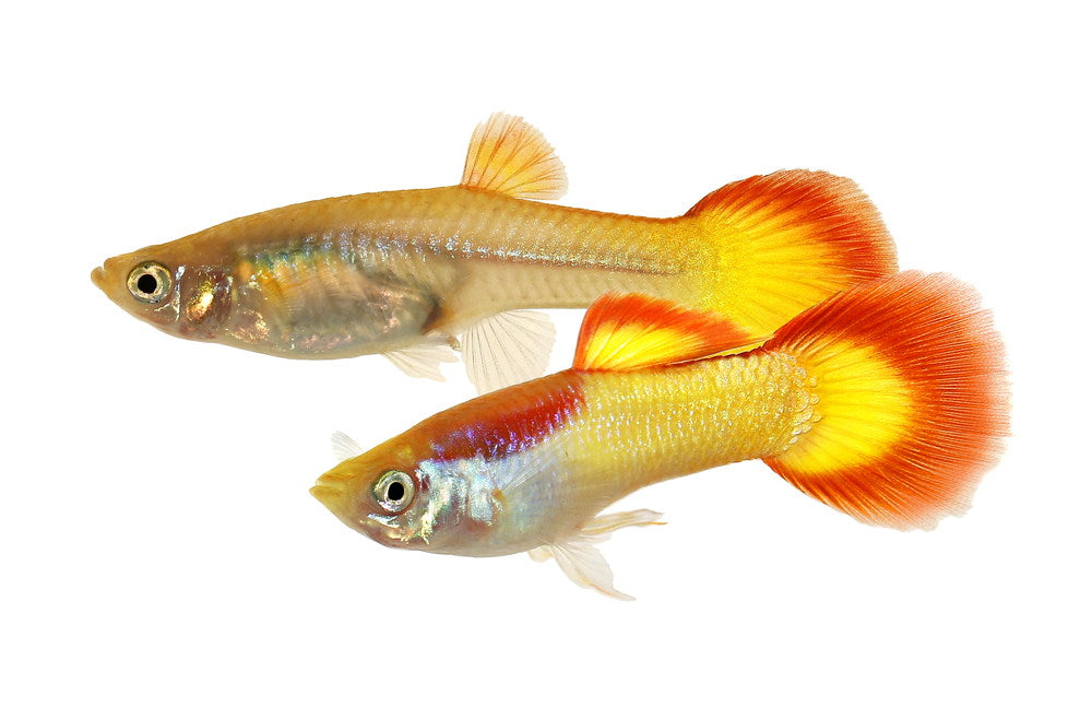 male and female guppy pair