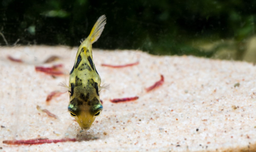 pea puffer looking at a bloodworm
