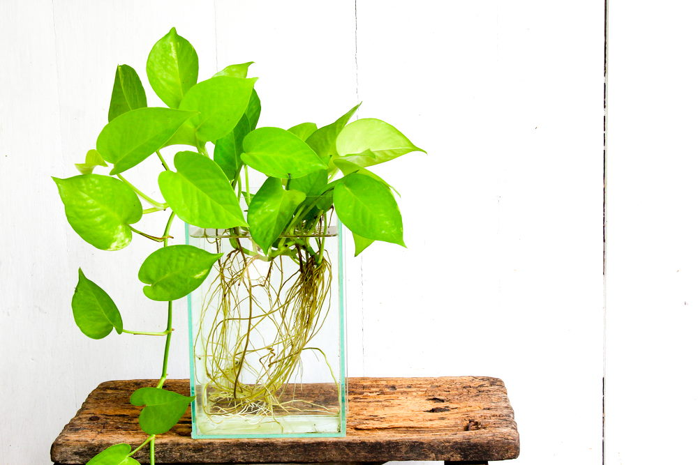pothos plant in rectangle glass vase