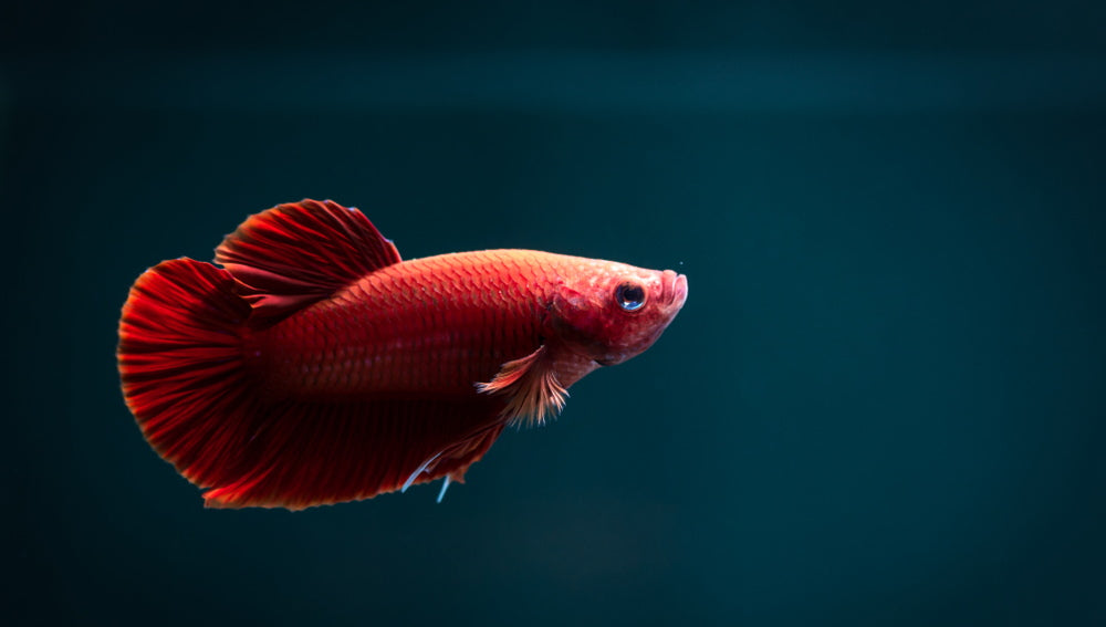 red plakat betta fish on blue background