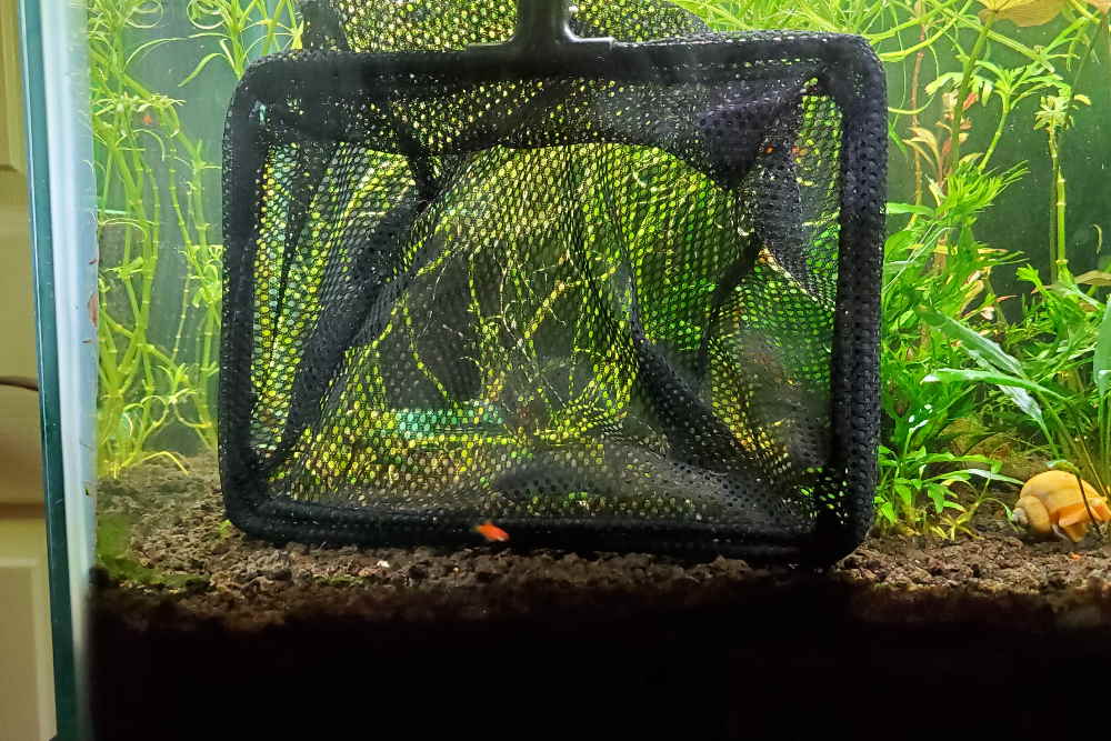 setting the trap with Aquarium Co-Op fish net