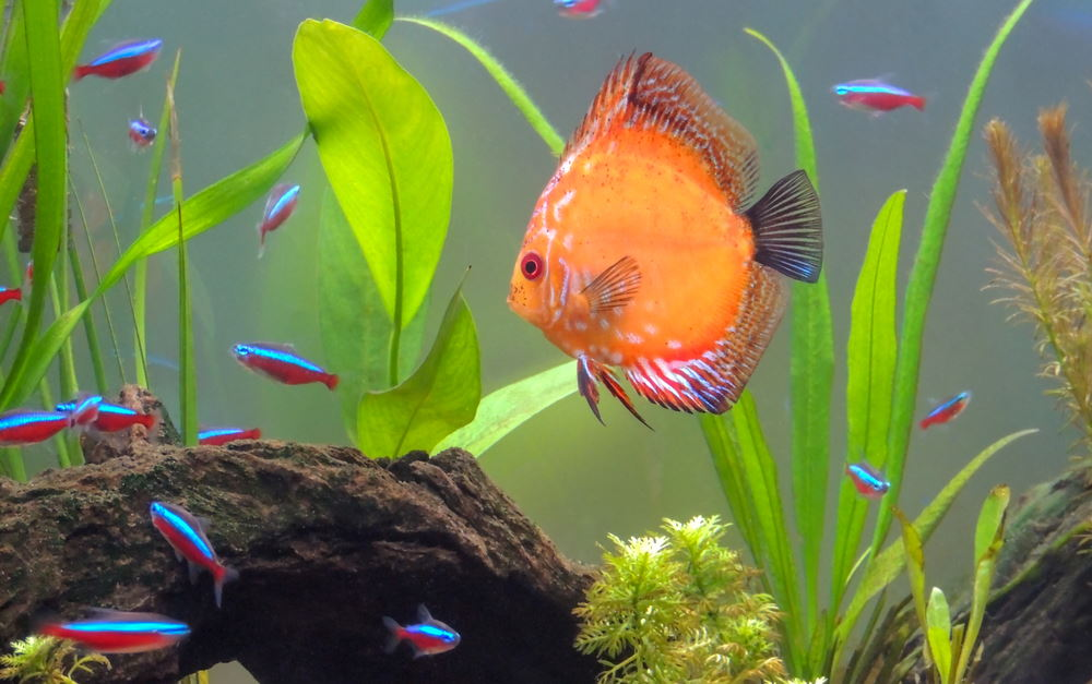 discus with cardinal tetras