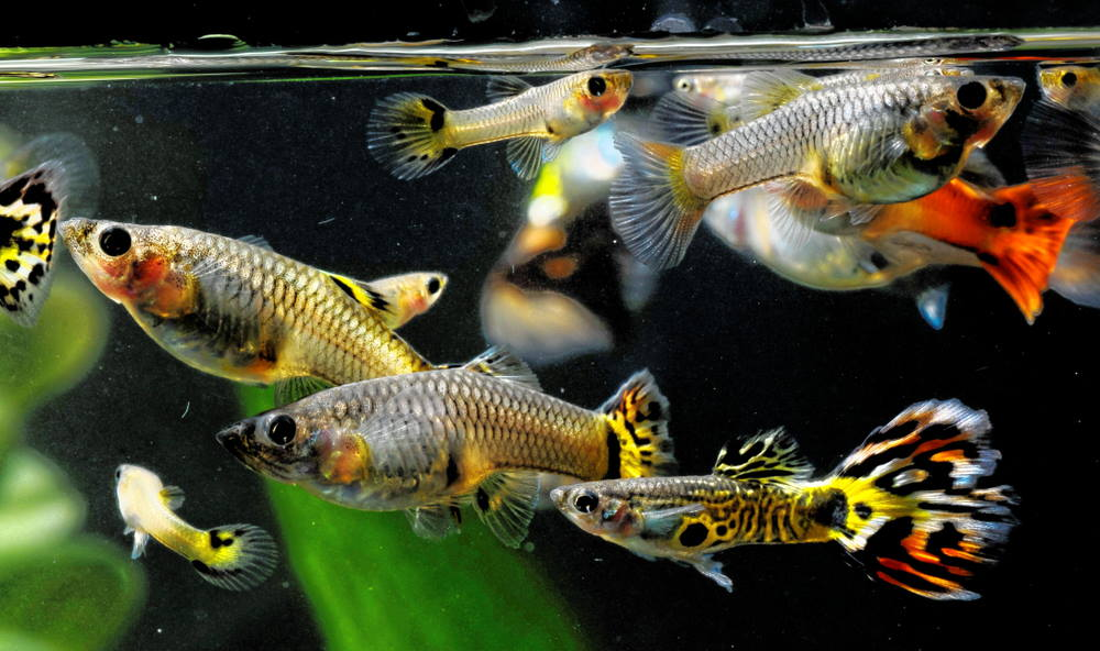guppies of different ages and genders