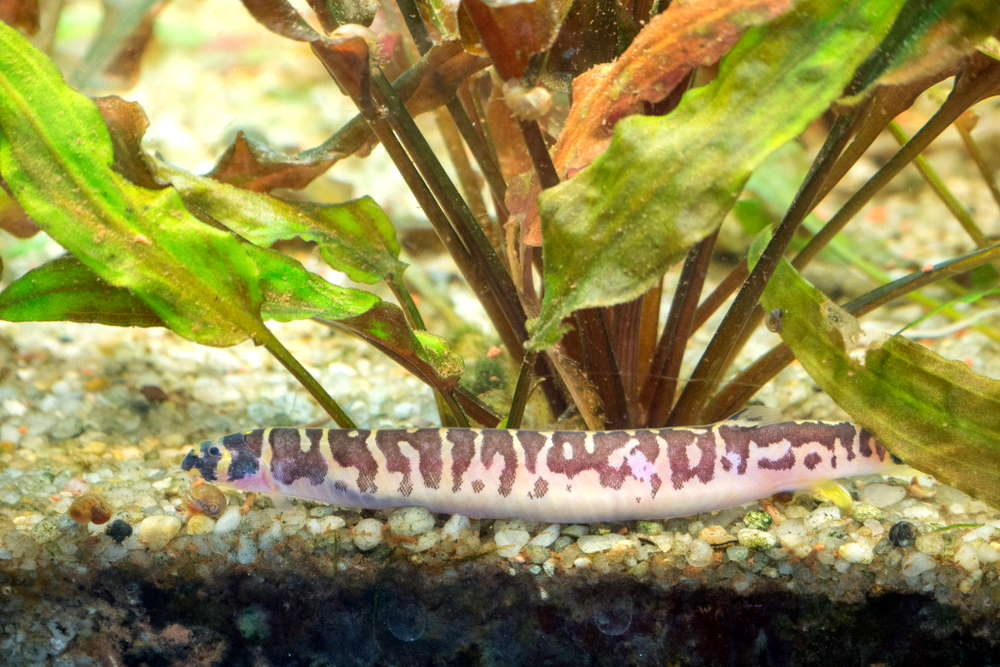 many varieties of kuhli loaches