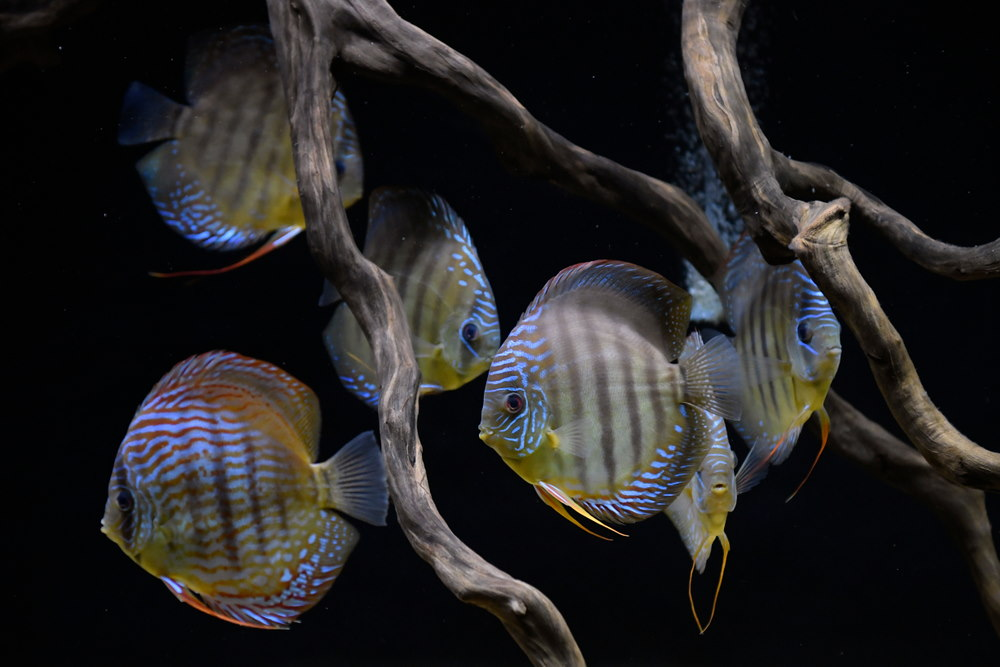 discus fish swimming among driftwood