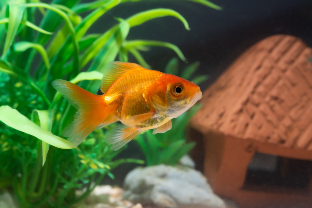 orange goldfish in aquarium