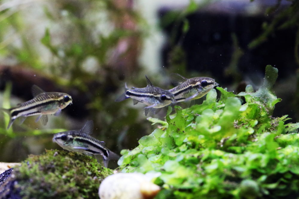 Group of pygmy corydoras