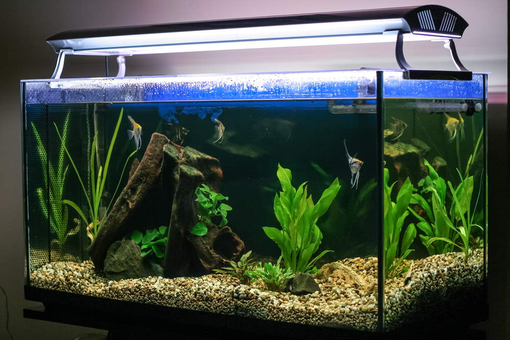 Planted fish tank with angelfish