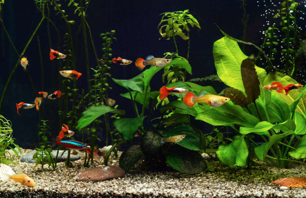 community tank with guppies