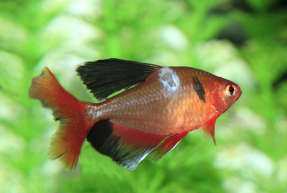 Long finned serpae tetra with possible fungal infection