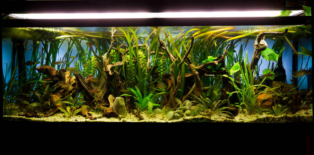Planted aquarium with vallisneria in the background