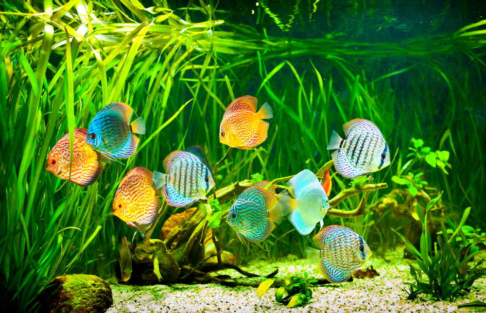 planted aquarium with discus