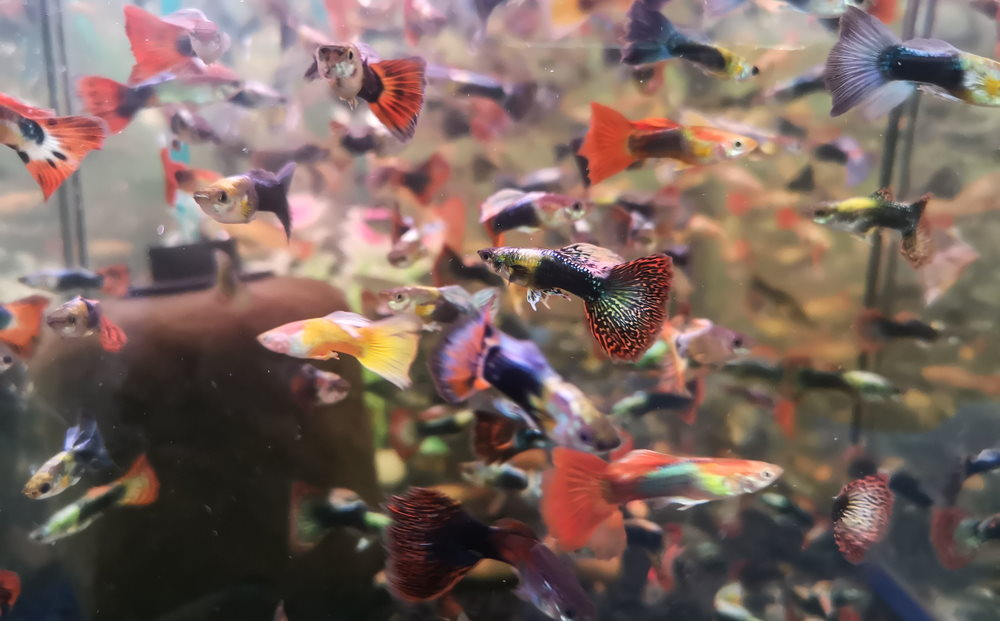 tons of guppies