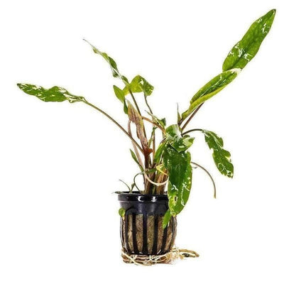 Cryptocoryne Lutea-Aquarium Co-Op