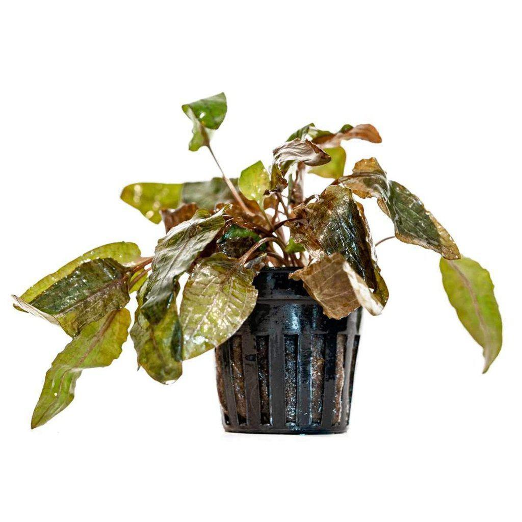 Cryptocoryne Tropica-Aquarium Co-Op