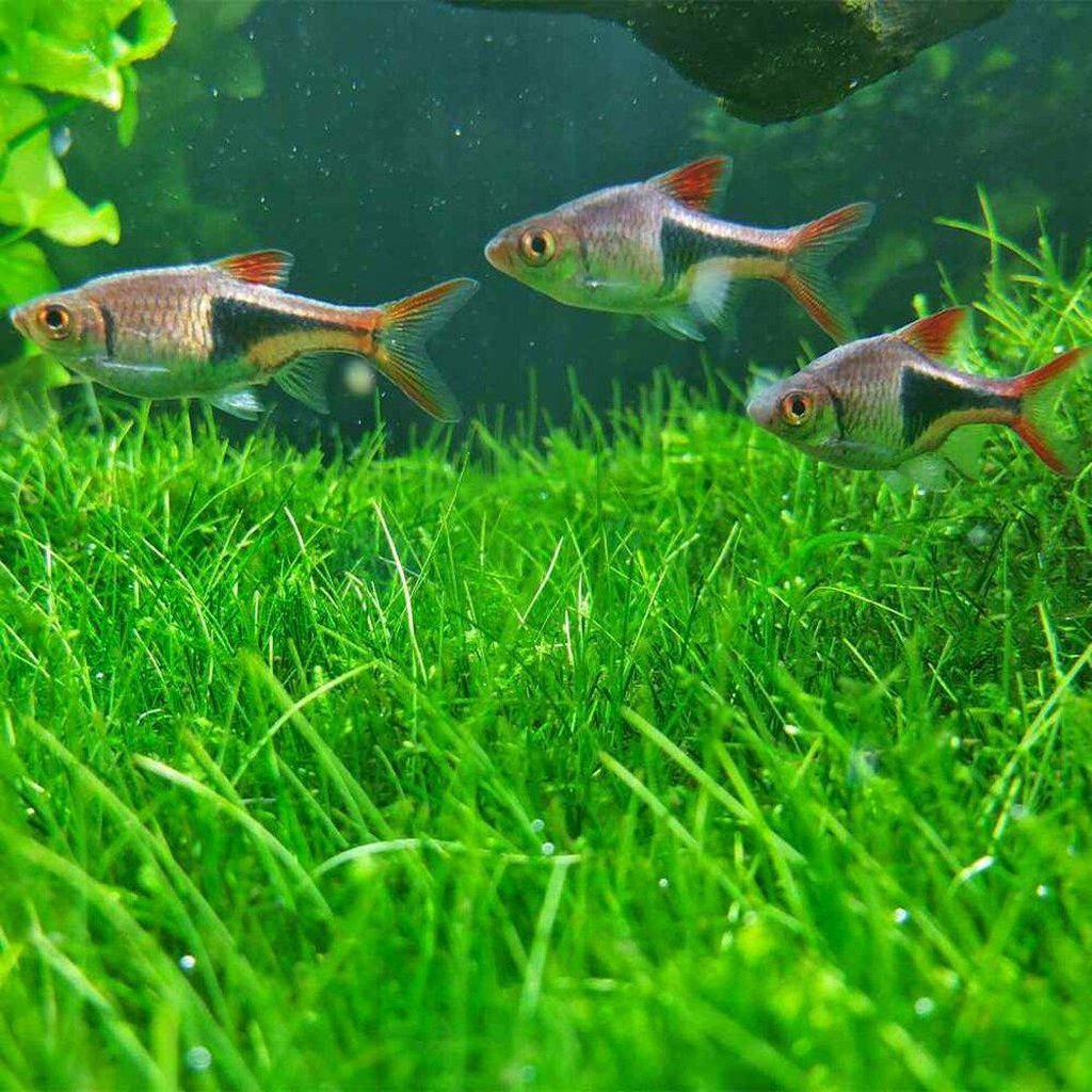 Dwarf Hairgrass-Aquarium Co-Op