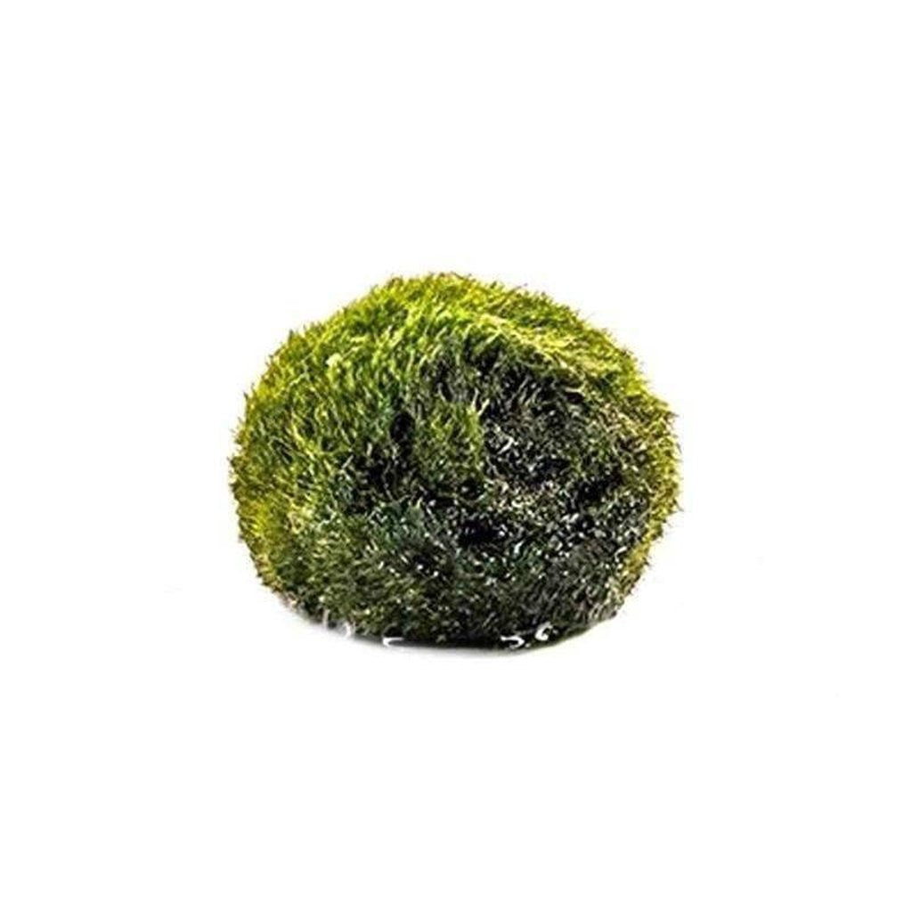 Marimo Moss Ball-Aquarium Co-Op