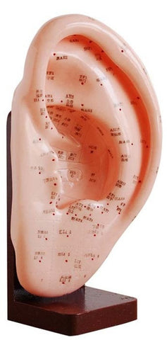 Life-size Ear Acupuncture Model - AM-OM-7