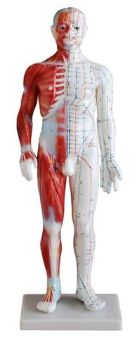"25"" Male Acupuncture Mannequin - AM-OM-2"