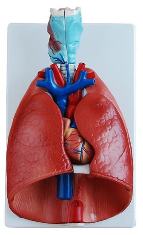 Larynx/Heart/Lung Anatomy Model-OM-11