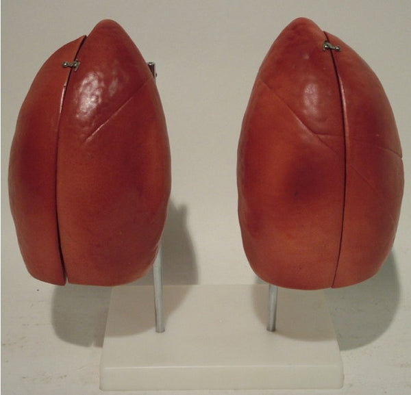 Lungs Anatomy Model-OM-12