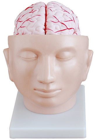 Life Size Brain Anatomy Model-OM-20