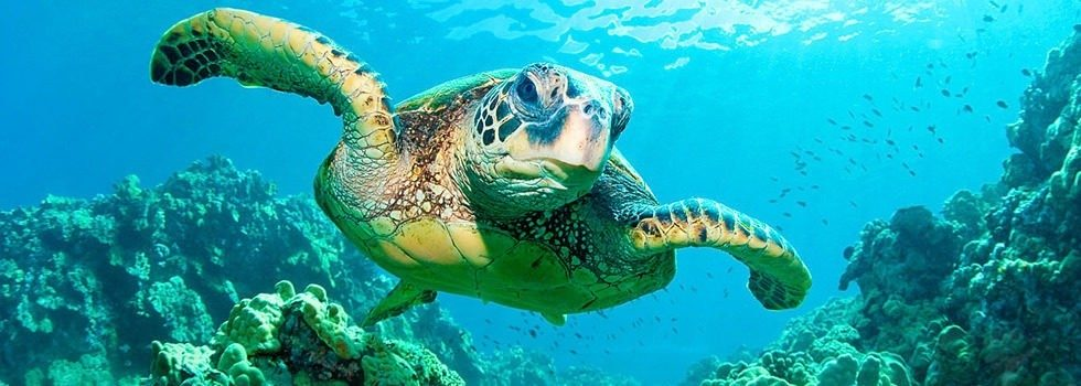 Green turtle leaving on hawaii