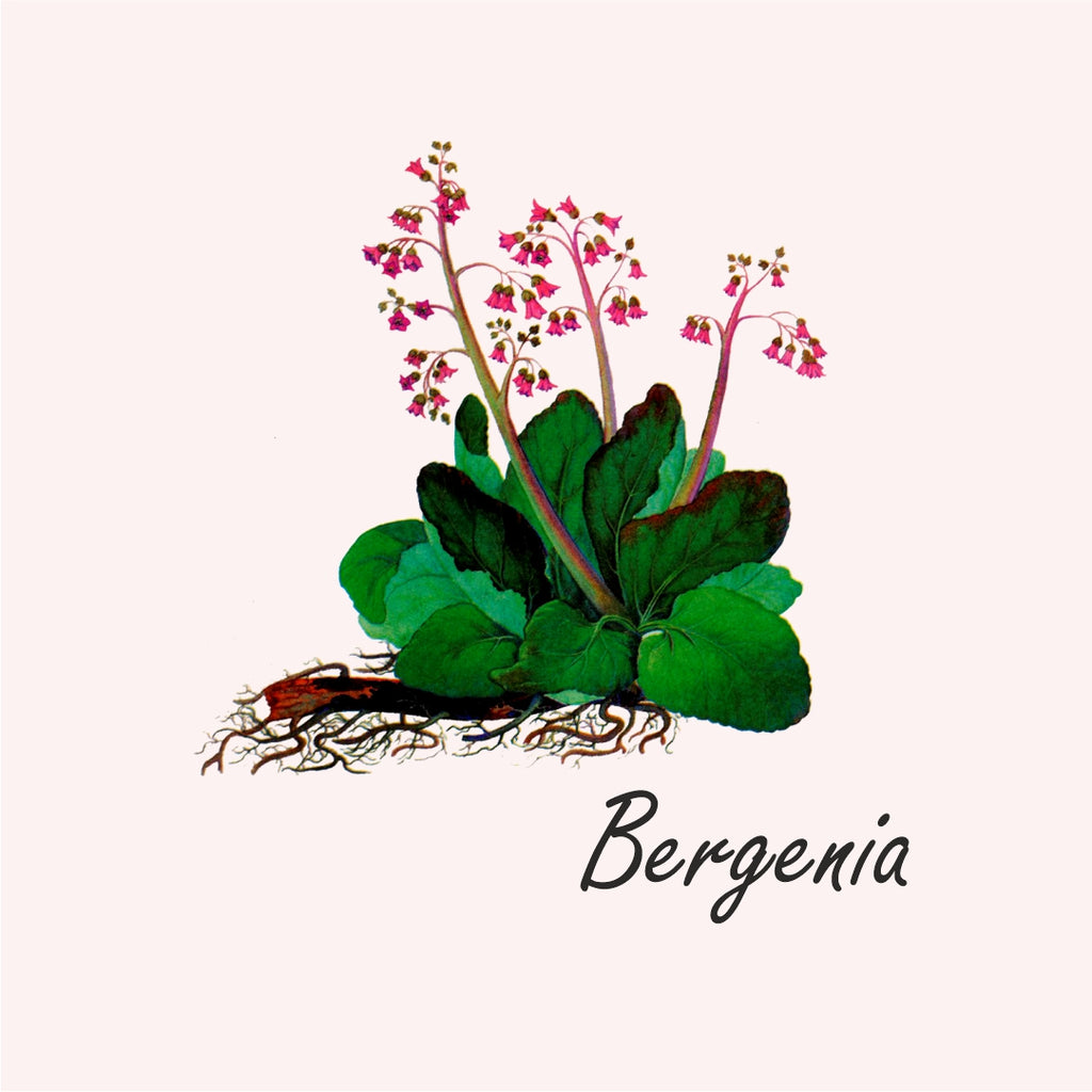 Bergenia herb from Siberia tea by Baikal Tea
