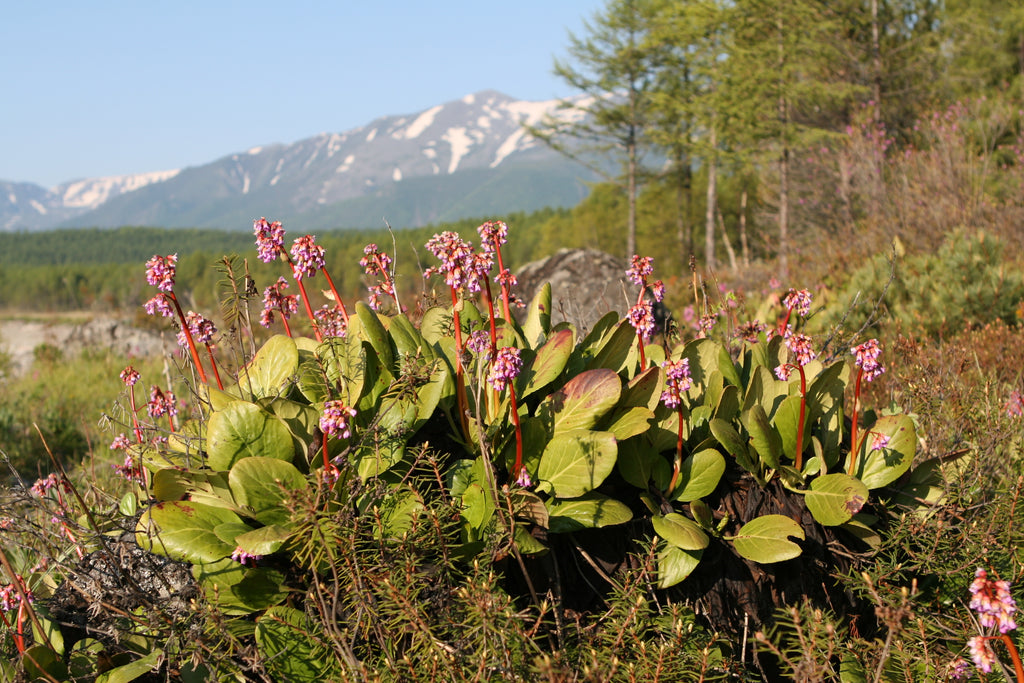 Bergenia herb by Chaga Baikal Tea herbal tea from Baikal Lake