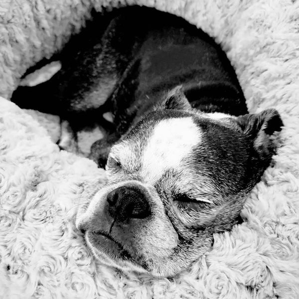 Boston Terrier Sleeping In A Super Soft Dog Bed