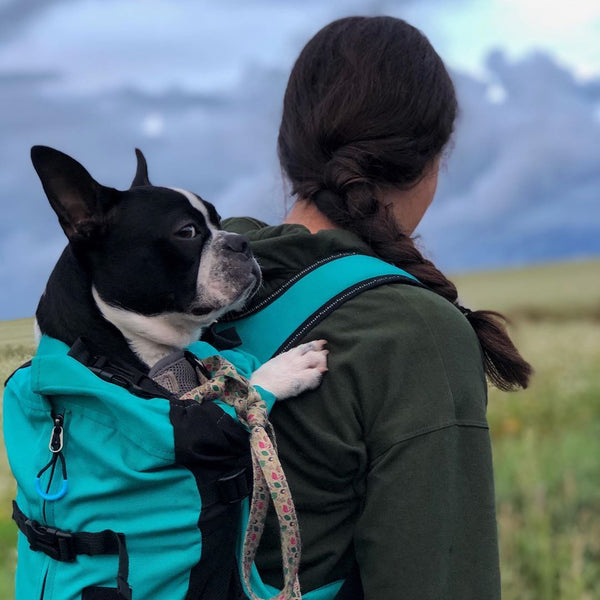 Stella the Boston Terrier is not sure about that Carrier Backpack