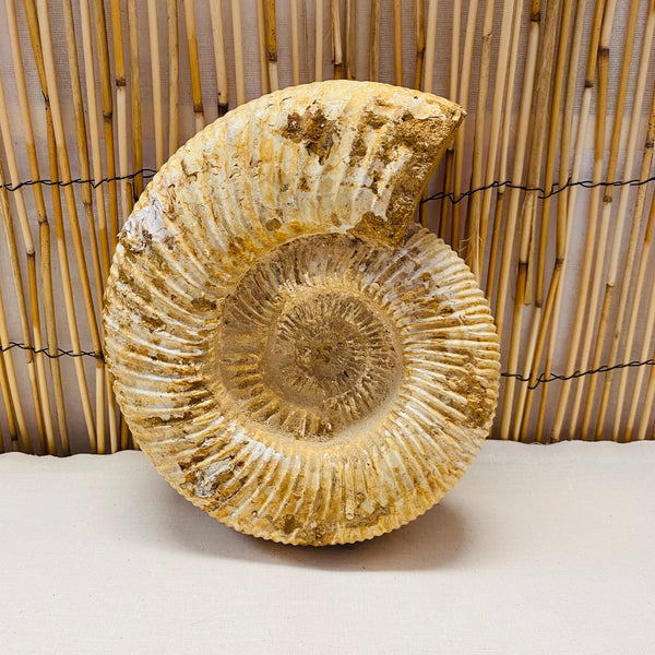 Extra Large Rare White Spine Ammonite 2.6kgs