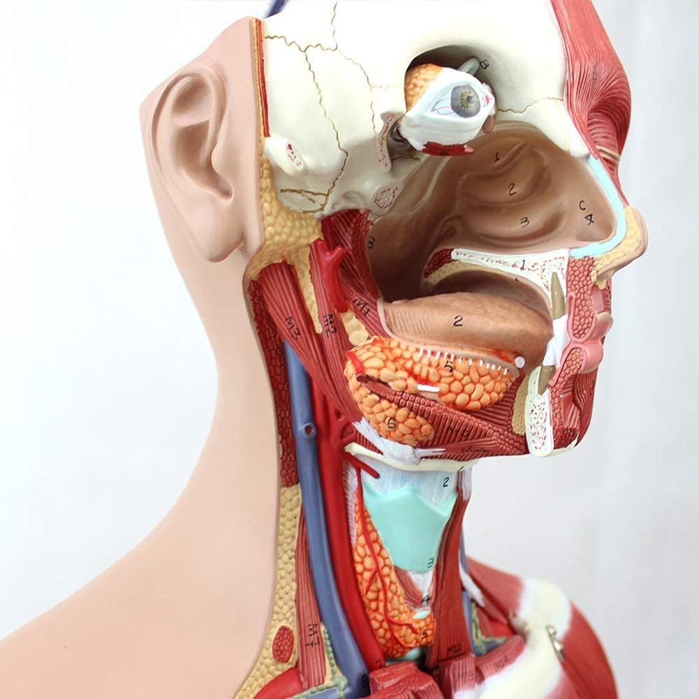4D Anatomical Assembly Model of Human Organs