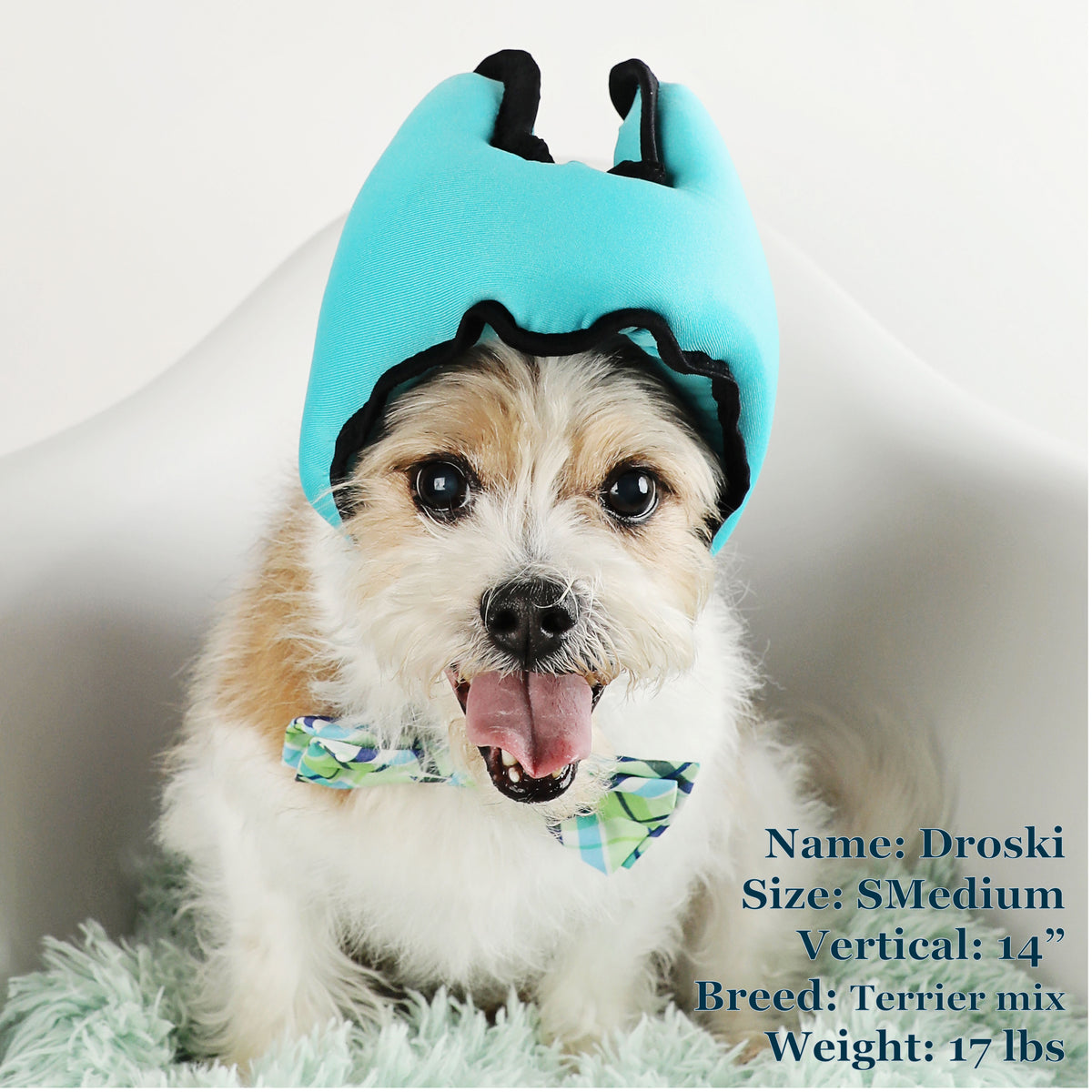 Droski is a Terrier Mix in a SMedium Blue PAWNIX Noise Cancelling Headset for dogs