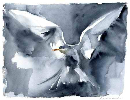 Arctic Tern - Limited Edition Print