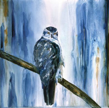 Northern Goshawk Looking – Limited Edition Print