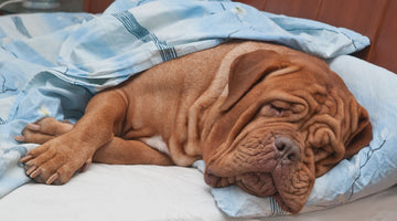 Dog Flu: What You Need to Know About the Current Outbreak