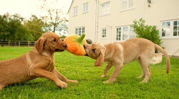 Why Dogs Get Bored of Some Toys