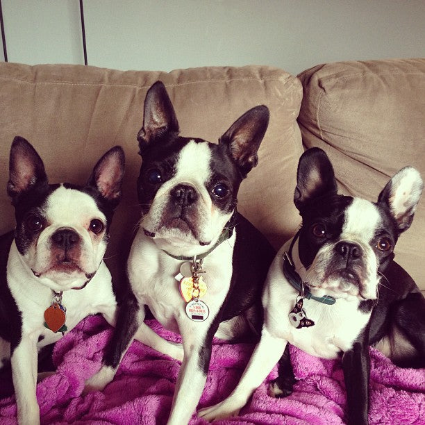 Gus the Boston Terrier and Friends