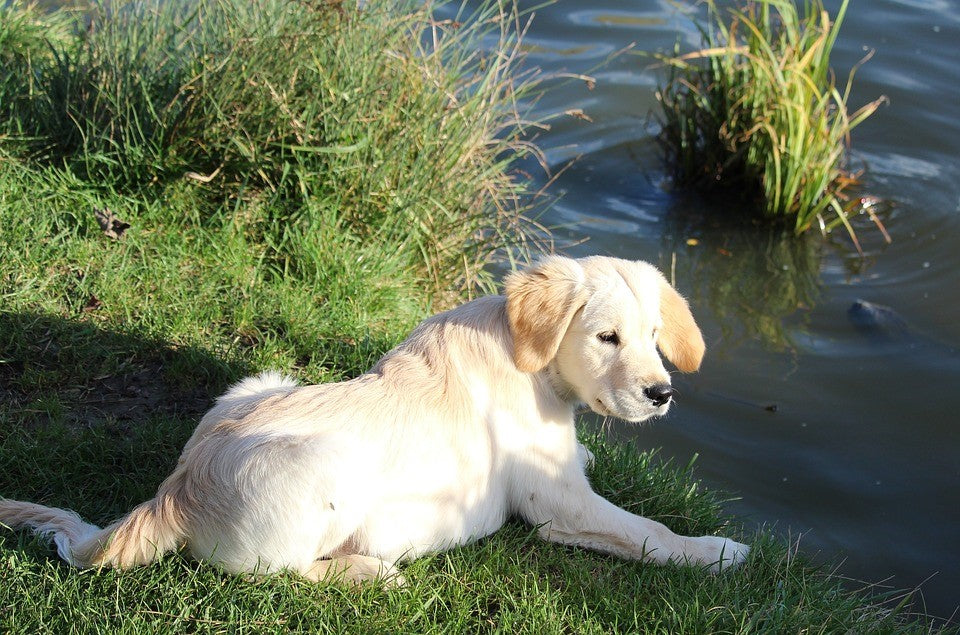 Why Labs Love Water: Understanding the Labrador's History
