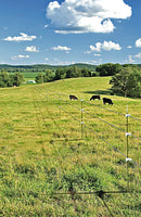 A photo of cows grazing in a sunlit field adjacent to a straight section of barbed wire fencing.