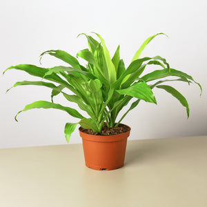 Dracaena 'Lime Light'